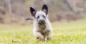 scottish-terrier-puppy