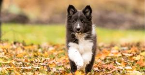 shetland-sheepdog-puppy