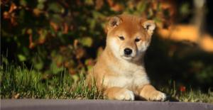 shiba-inu-puppy