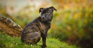 staffordshire-bull-terrier-puppy