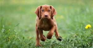 vizsla-puppy