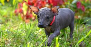 xoloitzcuintli-puppy
