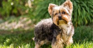 yorkshire-terrier-puppy